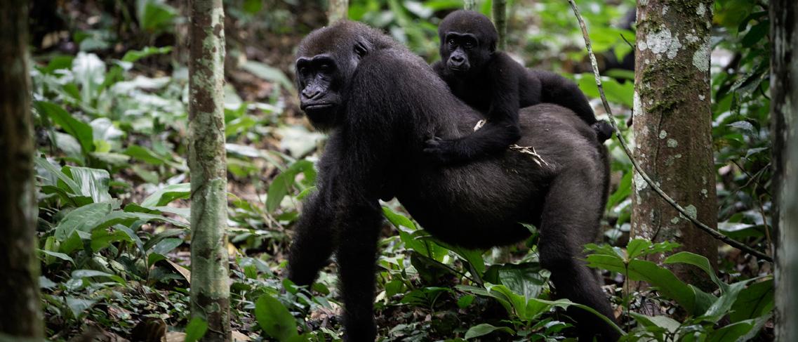 Gorilas en Ngaga