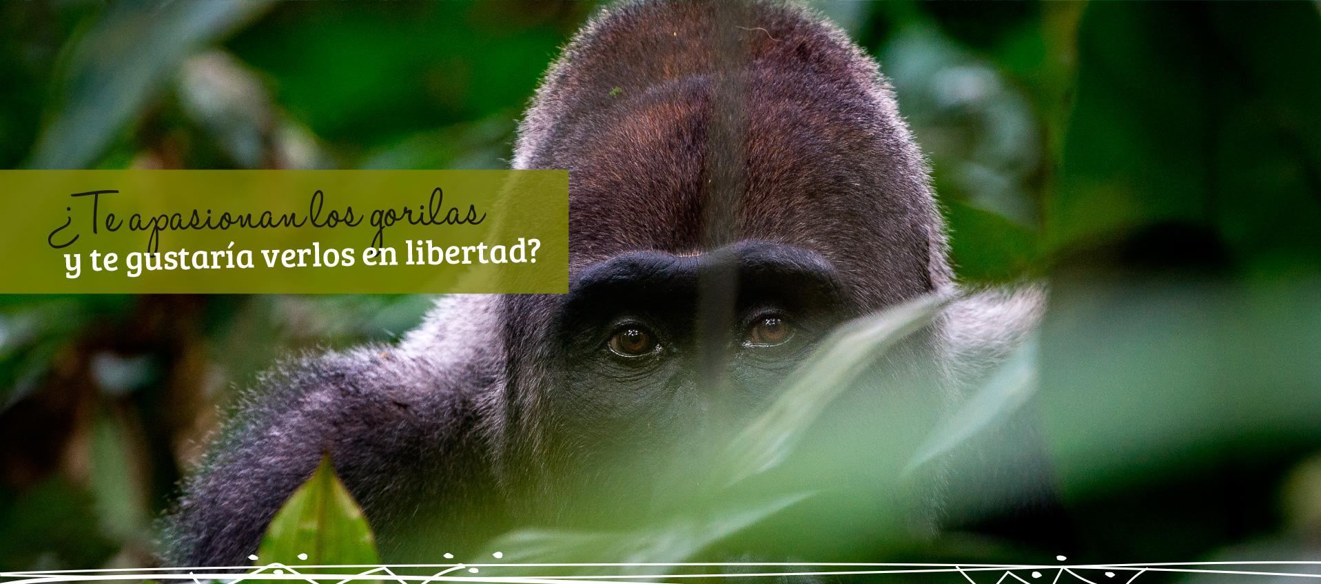 ¿Te apasionan los gorilas y te gustaría verlos en libertad?