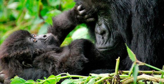 Safari a Uganda & Rwanda. Sawa Expeditions