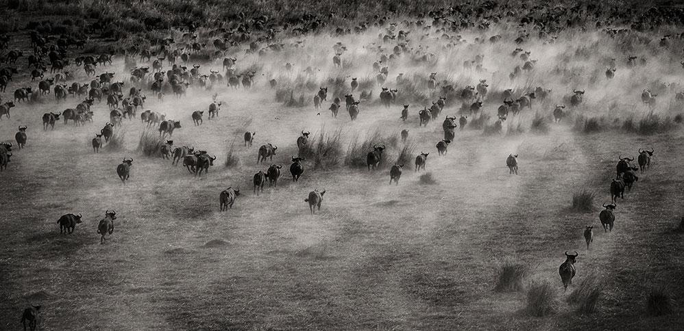 Anita Mishra_buffaloes-bw-by-air