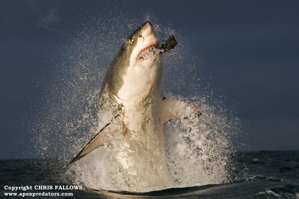 Sharck Cage Diving