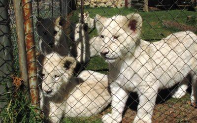 Caza enlatada: leones criados para ser asesinados